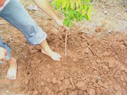 Kỹ thuật trồng cây nhãn cho quả sai, cùi dày, vị ngọt - ảnh 2