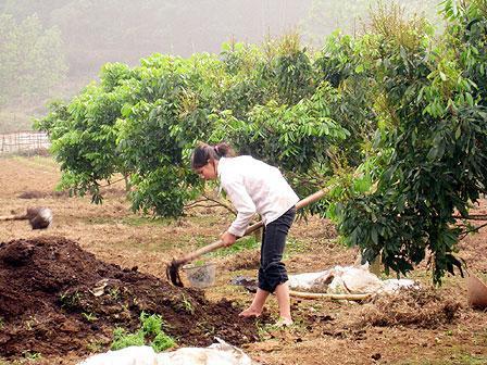 Kỹ thuật trồng cây nhãn cho quả sai, cùi dày, vị ngọt - ảnh 3