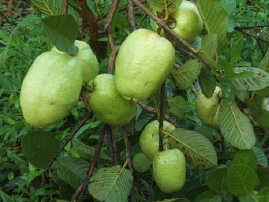 Để thu về lợi nhuận và chất lượng quả cao, người trồng nên áp dụng kỹ thuật trồng cây