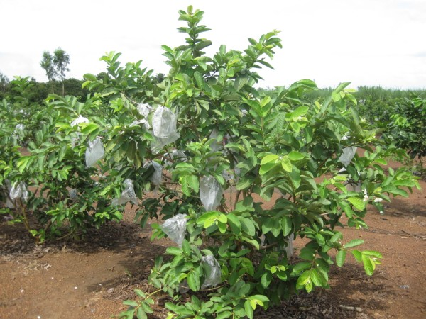 Kỹ thuật trồng cây ổi không khó