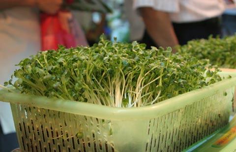 Rau mầm trồng trong rổ không cần đất