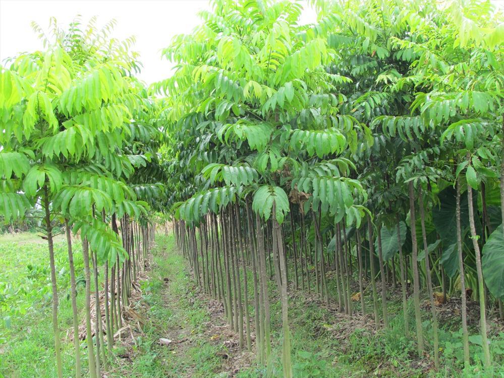 Sấu là loại cây không kén đất, nên chọn trồng ở vùng đất cát pha, thịt nhẹ