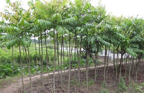 Chăm sóc, bón phân, tưới nước là khâu quan trọng trong kỹ thuật trồng cây sấu