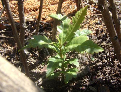 nếu biết kỹ thuật trồng cây thanh mai đúng cách cây sẽ mọc lên sau khoảng 2 tháng