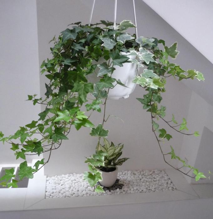 Kỹ thuật trồng cây thường xuân không quá khó