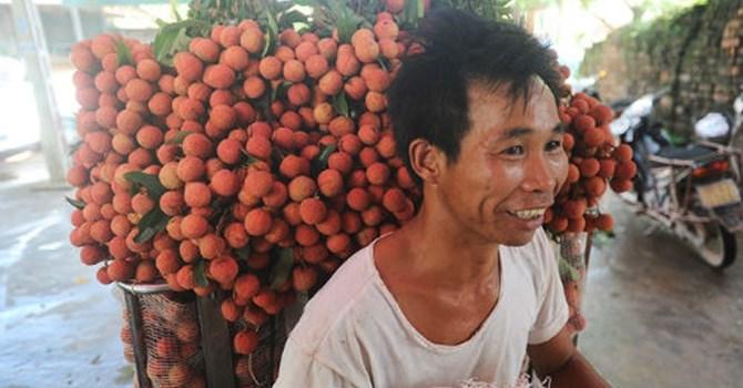 Trồng cây vải thiều là cách Làm giàu của nhiều hộ nông dân ở Bắc Giang, Hải Dương hiện nay