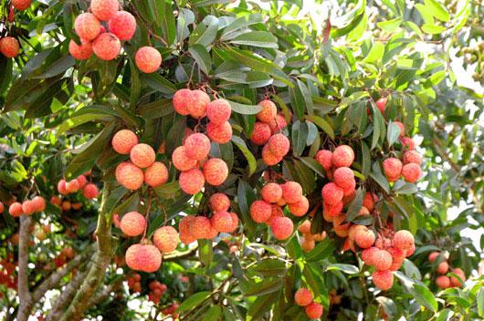 Phòng trừ sâu bệnh hiệu quả là khâu quan trọng trong kỹ thuật trồng cây vải thiều giúp quả sai, vị ngọt