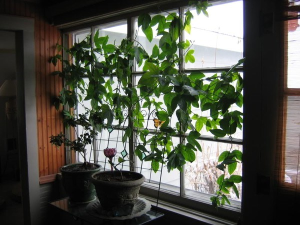 Cần để ý kỹ thuật chăm sóc, tưới nước cho cây