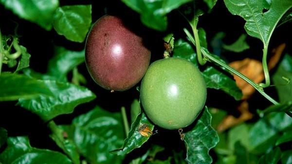 Kỹ thuật trồng chanh leo vô cùng đơn giản