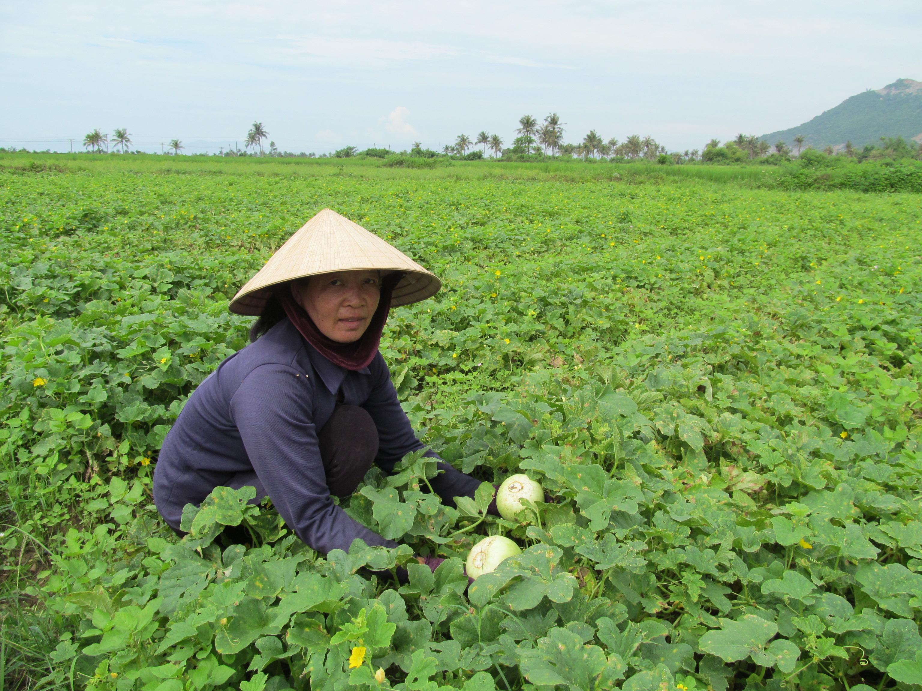 Kỹ thuật trồng dưa lê siêu ngọt cần chăm bón đúng cách và kịp thời