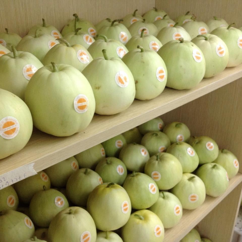Áp dụng kỹ thuật trồng dưa lê siêu ngọt đúng cách sẽ cho thu nhập cao, ổn định