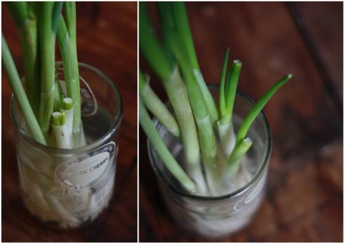 Kỹ thuật trồng hành lá thủy canh không khó lại hiệu quả