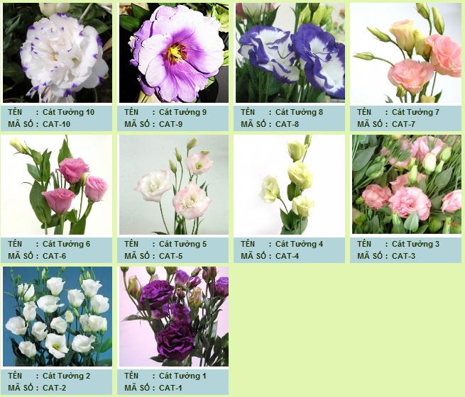 Cát tường là loài hoa mang ý nghĩa may mắn