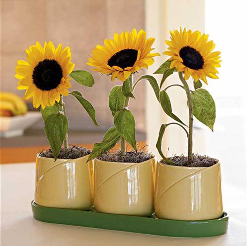 Cần chú ý khâu xử lý hạt giống tốt để cây phát triển tốt nhất