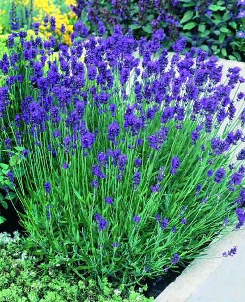 Cần chú ý chăm sóc trong kỹ thuật trồng hoa oải hương
