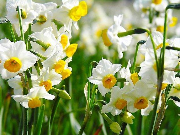 Kỹ thuật trồng hoa thủy tiên
