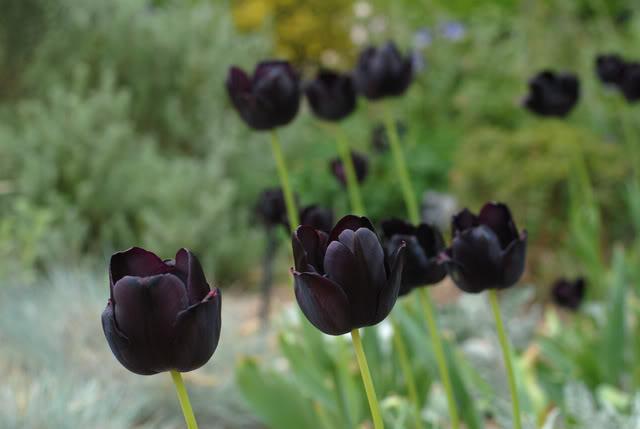 Kỹ thuật trồng hoa tulip chú trọng nhiều đến nhiệt độ, độ ẩm trong quá trình sinh trưởng của hoa