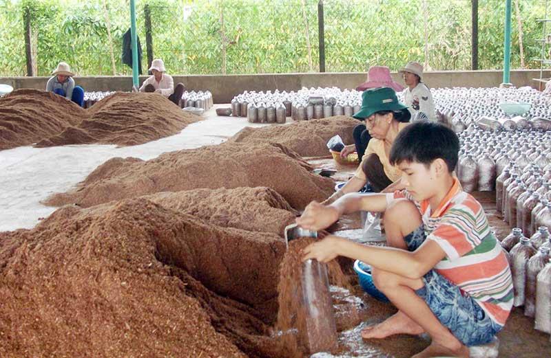 Nguyên liệu trồng nấm mèo là mùn cưa hoặc rơm rạ