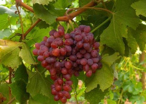 Kỹ thuật trồng nho không khó để có thể thu được những trái nho chín mọng