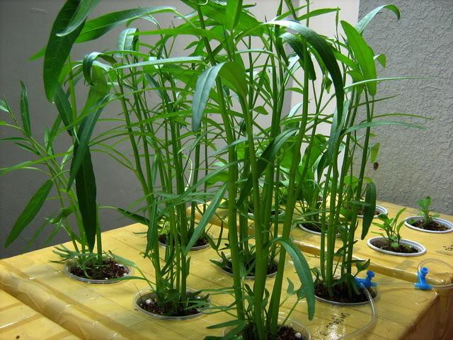 Kỹ thuật trồng rau thủy canh trong thùng xốp là phương pháp còn khá mới mẻ tại nước ta