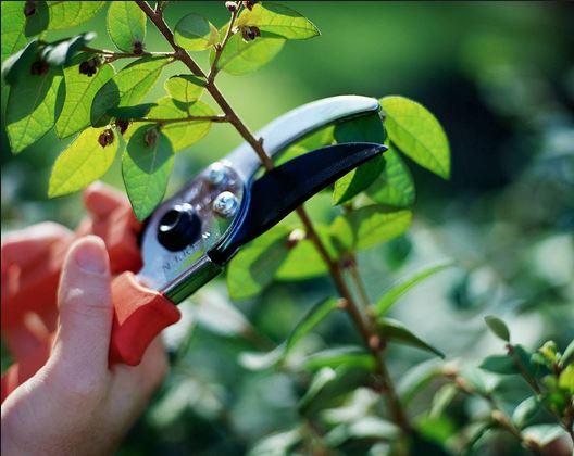 Tùy theo đặc tính và phương thức kỹ thuật trồng cây mà lựa chọn thời gian cắt tỉa hợp lý