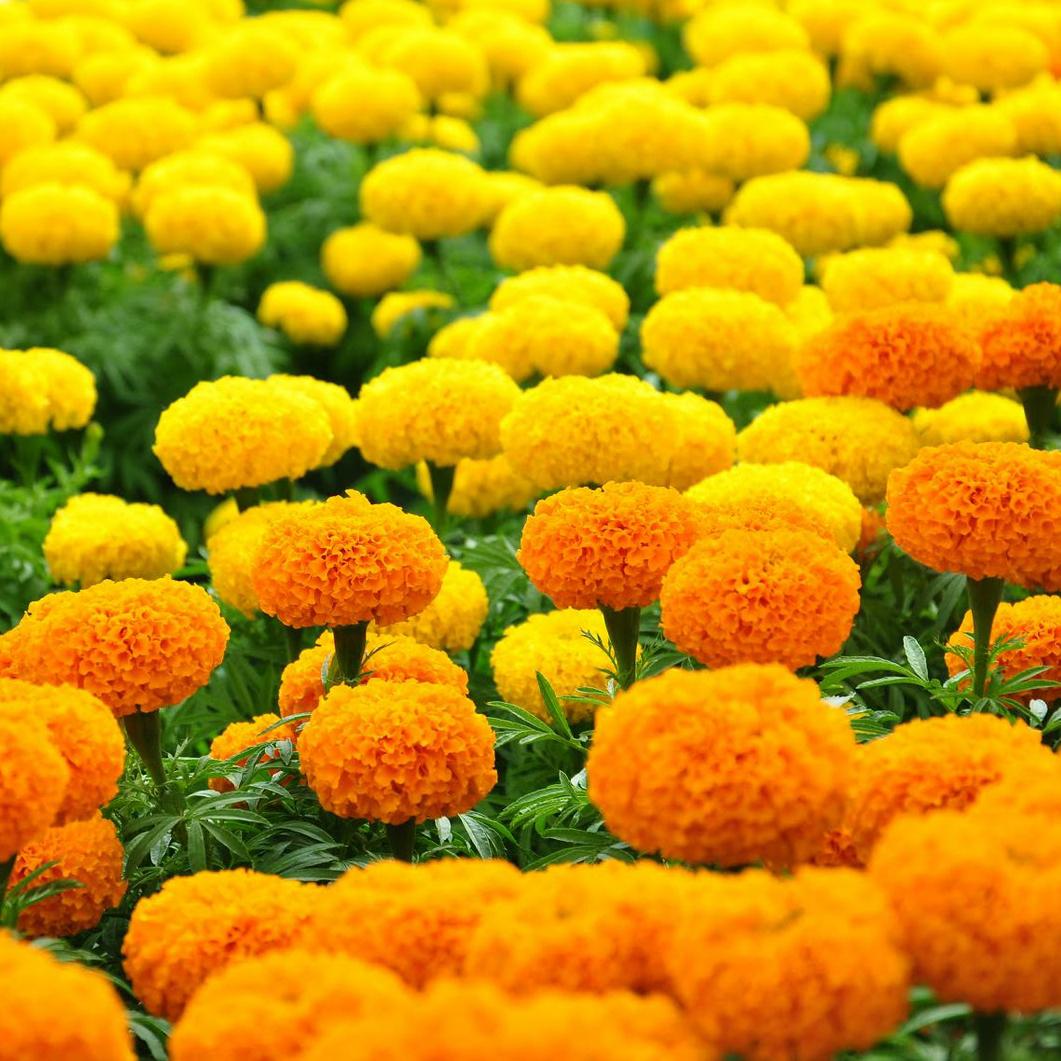 Ươm cây là một bước quan trọng của kỹ thuật trồng cây hoa cúc vạn thọ