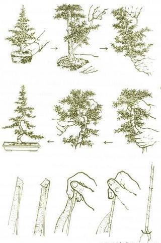 Ảnh minh họa kỹ thuật trồng cây và uốn sửa cây cảnh bonsai
