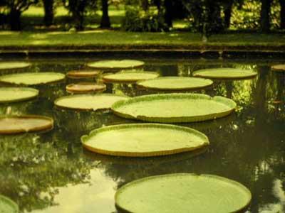Sen vua Victoria regia mệnh danh là loài lá sen to nhất thế giới