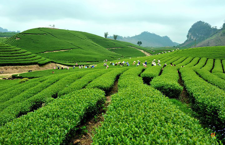 Đồi chè Mộc Châu là địa điểm du lịch được nhiều người yêu thích