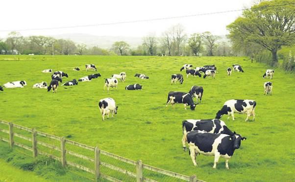 Thảo nguyên Mộc Châu nổi tiếng vẫn những trang trại bò sữa
