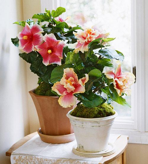 Hoa dâm bụt là mang lại may mắn cho người trồng
