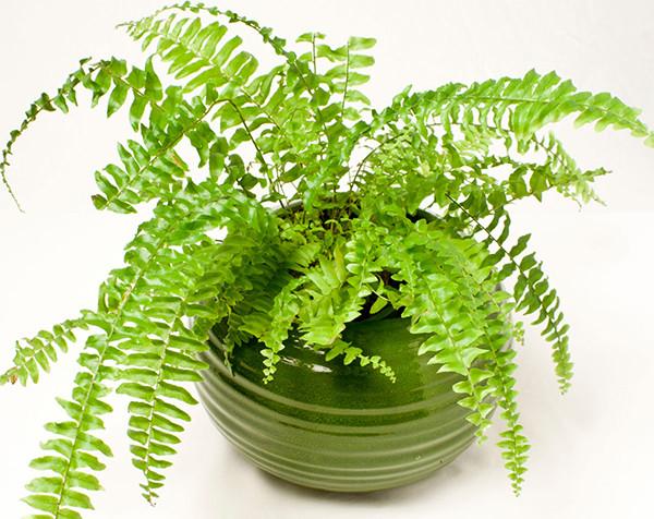 Cây dương xỉ có thể chữa được nhiều bệnh như lang ben, đau lưng hay bong gân
