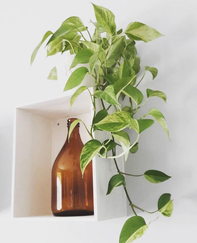Những người thường hút thuốc nên trồng một cây trầu bà trong nhà hoặc văn phòng
