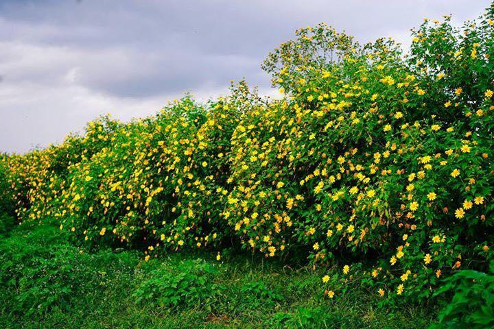 Tháng 10, hoa dã quỳ ở Ba Vì bắt đầu nở rộ
