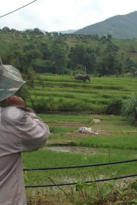 Voi rừng xuất hiện tại huyện Sông Mã, tỉnh Sơn La
