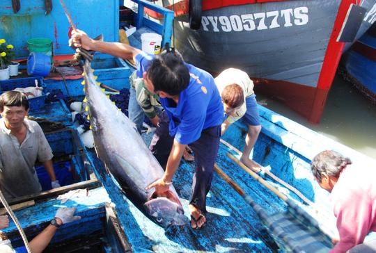 Dù biết cái cớ giá cá ngừ đại dương hạ theo giá xăng là vô lý nhưng các cơ quan chức năng cũng đành bất lực