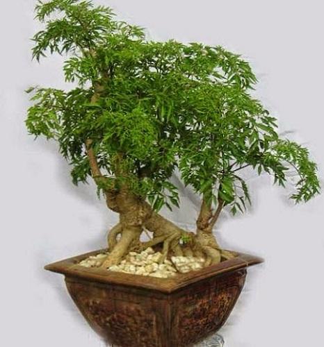 kỹ thuật trồng cây đinh lăng