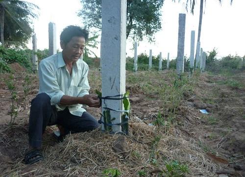 Kỹ thuật trồng cây Thanh Long ruột đỏ