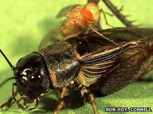 ruồi ký sinh