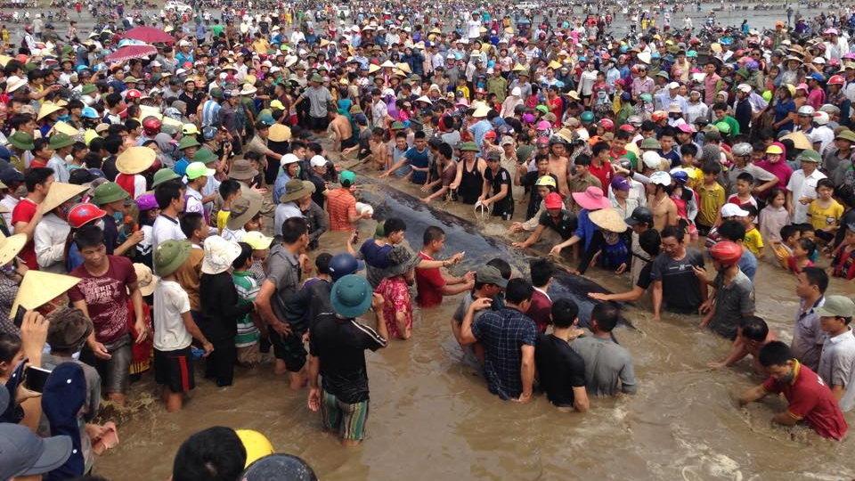 Cá voi nặng 17 tấn, dài 15m đang 'thoi thóp' trên bờ biển Nghệ An