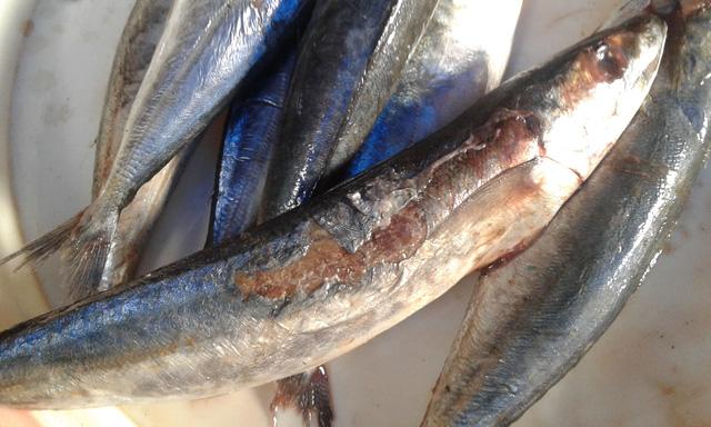 Tin tức trong ngày: Cá nục 'xịn' chỉ đáng cho mèo ăn tại Hà Nội