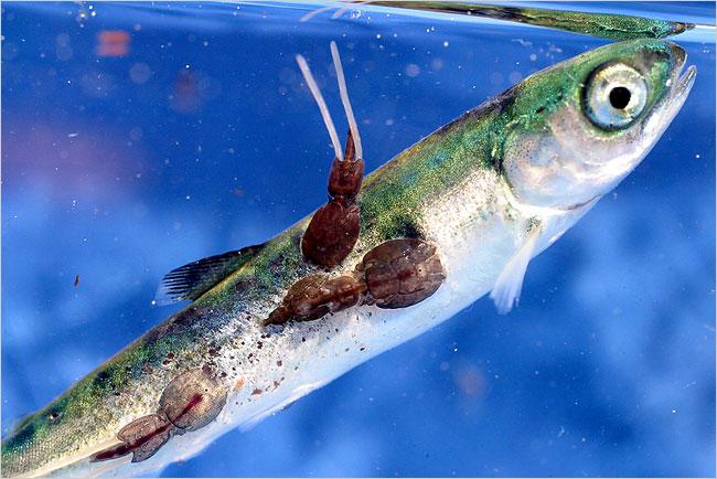 Thông tin cá hồi có chứa chất độc khiến nhiều người hoang mang. Ảnh minh họa