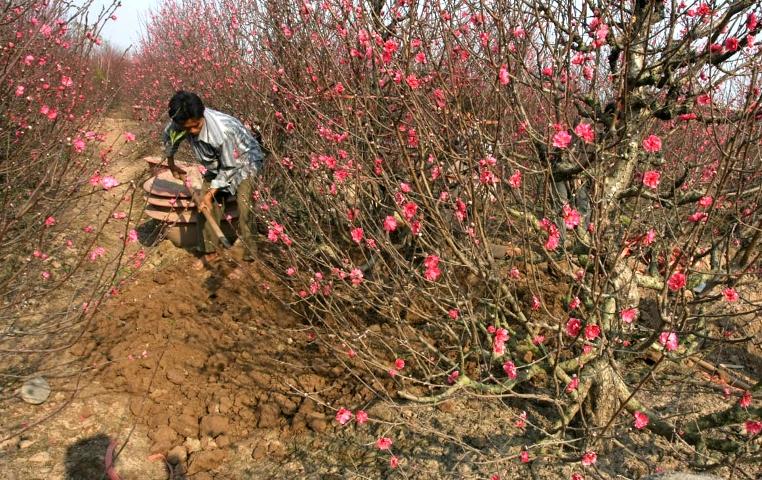 Kỹ thuật trồng và chăm sóc hoa đào không hề đơn giản.