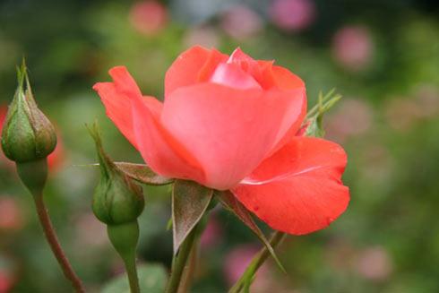 Kỹ thuật trồng hoa hồng tỉ muội cho ra hoa quanh năm.
