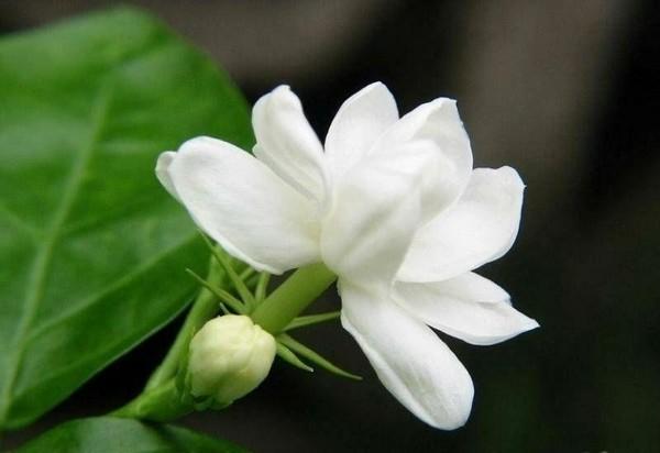Kỹ thuật trồng hoa Nhài cực kỳ đơn giản.