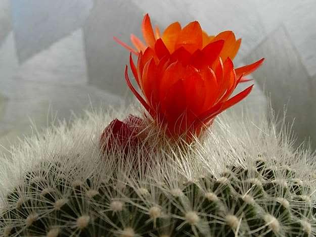 Để hoa xương rồng nở quanh năm nhờ vào cách chăm sóc.