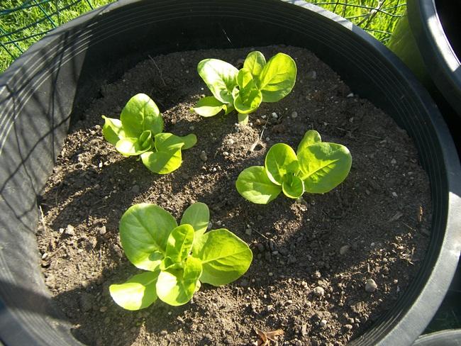Rau xà lách trồng trong khoảng hơn tháng là đã được thu hoạch.