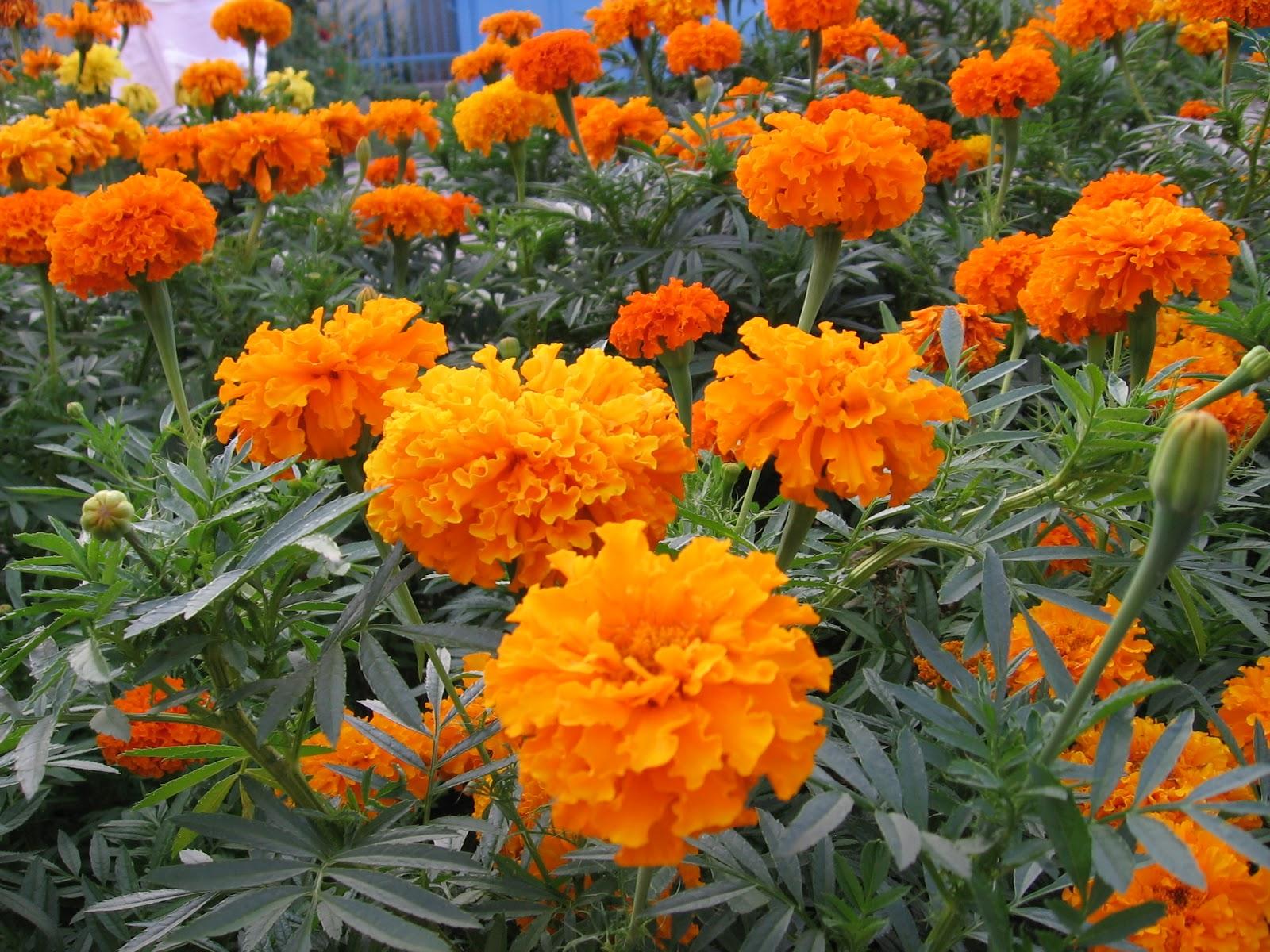 Kỹ thuật trồng hoa cúc vạn thọ và cách chăm sóc cho hoa nở đúng dịp Tết Nguyên đán hỏi hỏi phải khoa học.