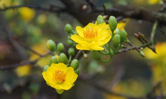Kỹ thuật trồng và chăm sóc hoa mai nở đúng dịp Tết Đinh Mậu - ảnh 4