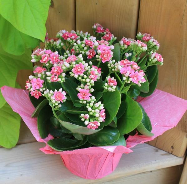 Kỹ thuật trồng và chăm sóc cây sống đời cho hoa nở rực rỡ đón Tết - ảnh 4